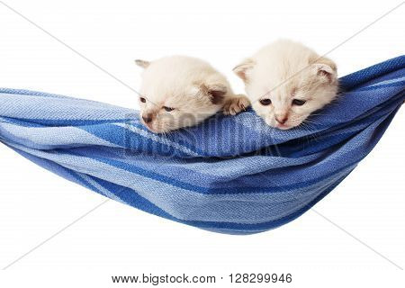 Two white kittens in a hammock. Cute white kittens in a blue hammock having rest, look down, sleepy, isolated at white. Adorable pets. Small heartwarming kitten. Little cats. Animal isolated. High key