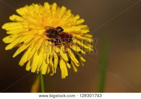 Bee with pollen on a dandelion flower