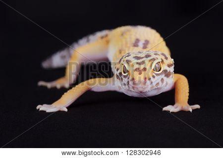 Small Lizard Looking At Camera