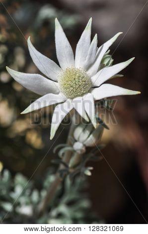 A Flannel Flower, a native Australian flowering plant