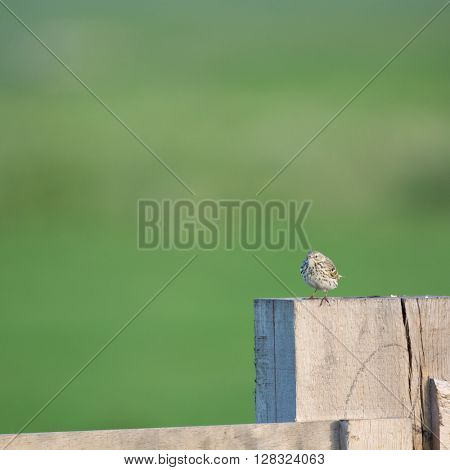 Little pipit sitting on fence
