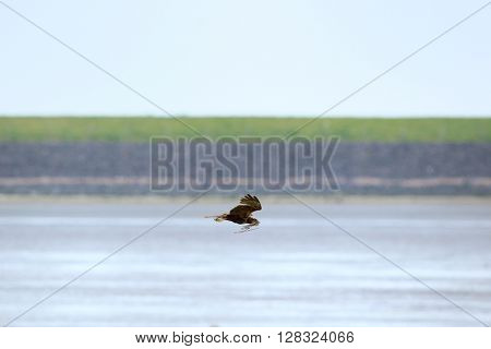 western marsh harrier flying with nest material