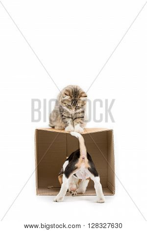 Lovely tabby Persian cat playing hide and seek with beagle puppy on isolated background