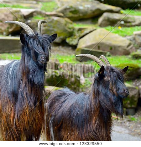 Family mountain goats in park
