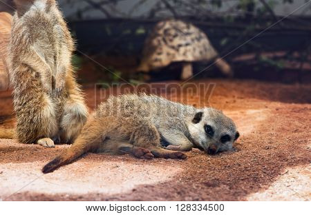 Meerkat in captivity at a zoo lying prone on the ground resting while a second member of the family does sentry duty behind