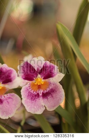 Macro of the deep pink pattern on a white pansy orchid Miltoniopsis background in spring.