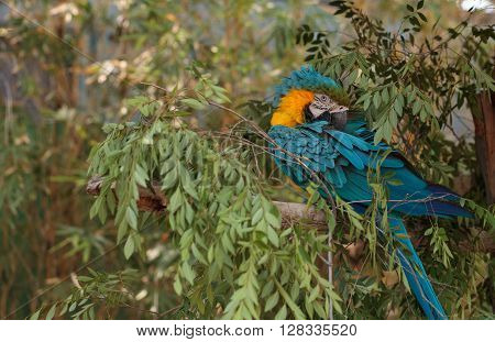 Blue and yellow Macaw bird Ara ararauna perches in a tree with its bright feathers folded under. ** Note: Visible grain at 100%, best at smaller sizes