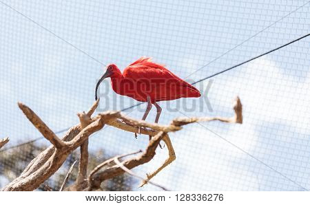 Scarlet ibis, Eudocimus ruber, is a bright pink bird found in the Caribbean and South America in rivers, marshes and streams.