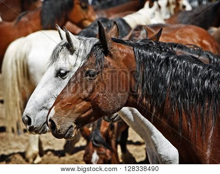 A pair of horses stand together in a full corral - focus point on the foreground horse head.