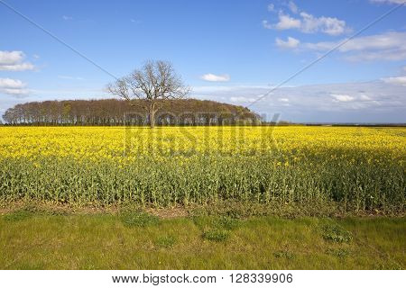 a flowering yellow canola field with a woodland copse in springtime and a view of the vale of york under a blue sky