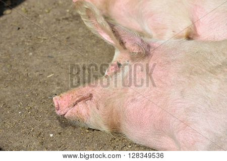 Picture Of Piglet Sleeping In Cage At A Farm In A Sunny Summer Day.