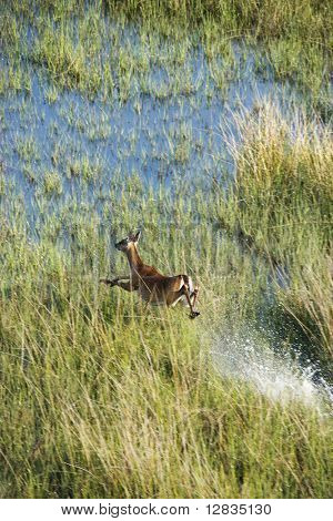Aerial view of white tail deer running fast through water and marsh grass on Bald Head Island, North Carolina.