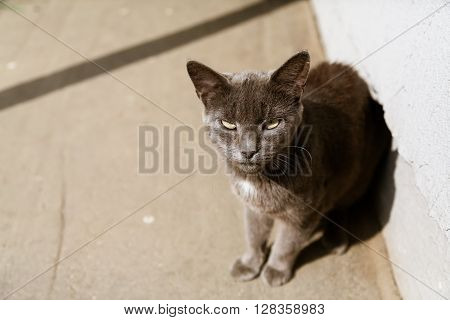Beautiful calm grey stray cat sitting in the sun and looking at camera in summer