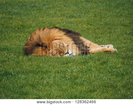 a male lion lying down on the grass