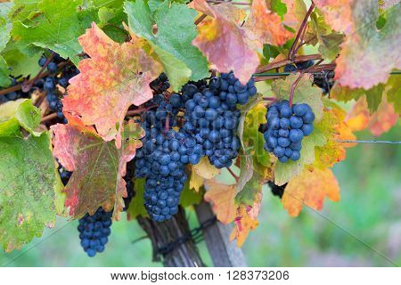 Mature red wine grapes in the vineyard