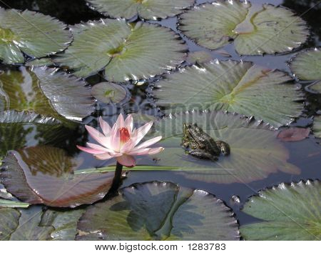 Nymphaea_Rose_Nymphe_Bufo_Bufo