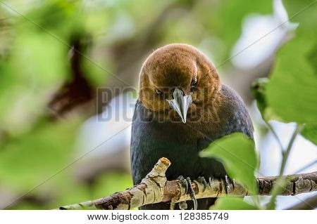 Angry Bird! Brown-headed Cowbird is a parasitic bird, like the Cuckoo, that lays its eggs in another bird's nest to be raised by the other bird.