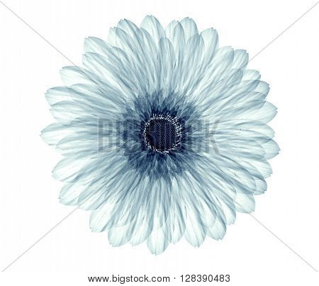 X-ray Image Of A Flower Isolated On White , The Gebera