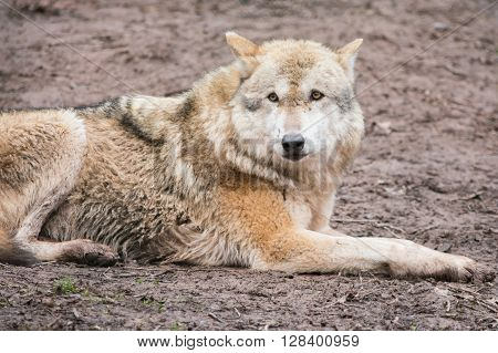 Grey Wolf in Trips Trill animal Park, Germany