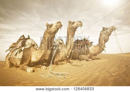 Three Camels Reating in the Desert Concept