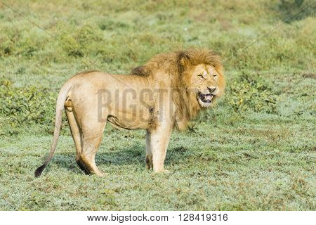 A lion standing on the Serengeti in Tanzania, Africa.