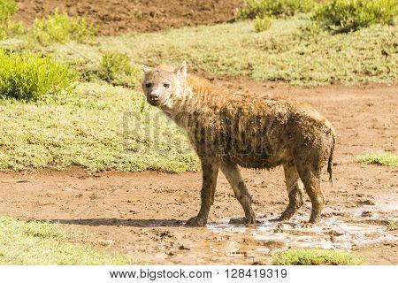 A hyena standing on the Serengeti in Tanzania, Africa,