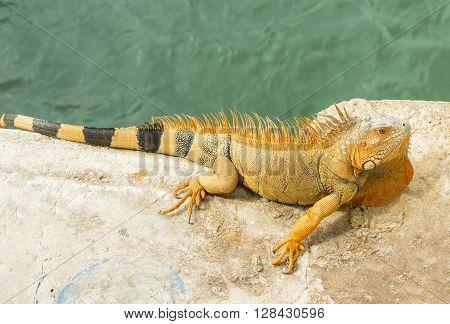 Bright orange iguana Iguana iguana sunning of rock with water of Atlantic Ocean Florida.