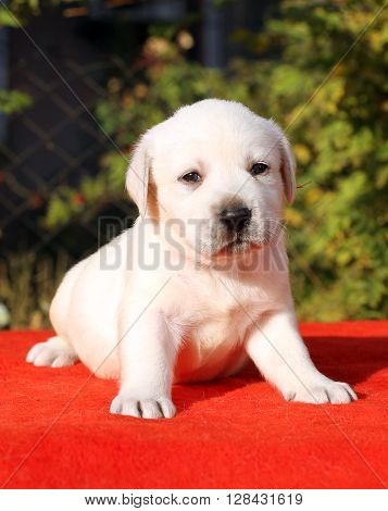 A Yellow Happy Labrador Puppy On Red Portrait