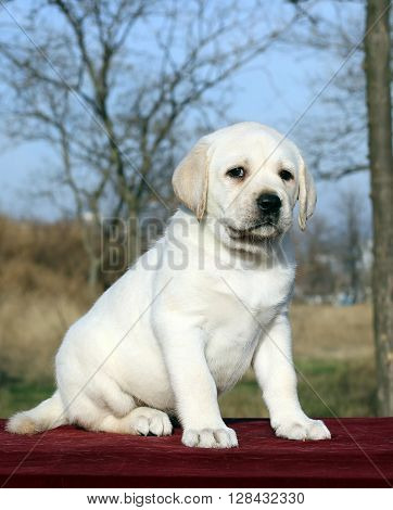 A Nice Yellow Labrador Puppy On Red