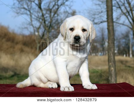 Nice Yellow Labrador Puppy On Red