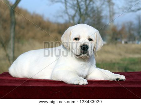 A Nice Yellow Labrador Puppy On Red Close Up