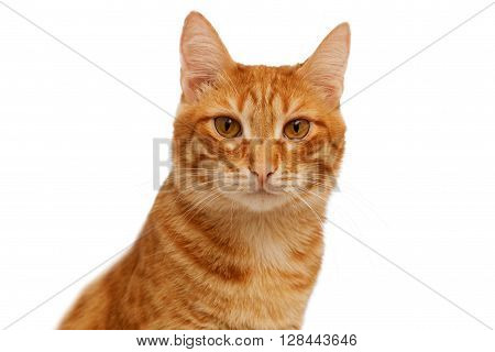 Head Of Ginger Cat Isolated On White
