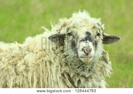 head of big sheep with thick fleece