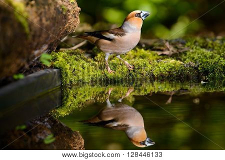 Grosbeak, brown songbird sitting in the water, in the nature of the habitat, spring nesting