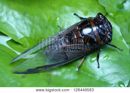 Cicada close up photo - Cicada taken macro photo in top view over green leaf