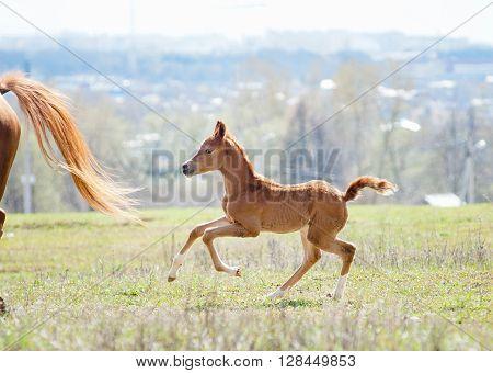 running arabian foal in sunny daylight in a field