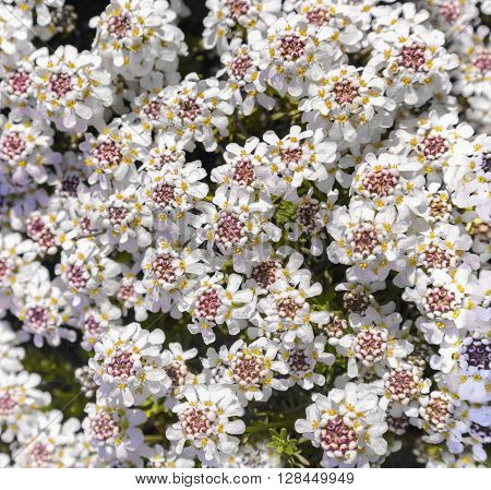 Beautiful white flowering evergreen rock plant glowing in the sunshine