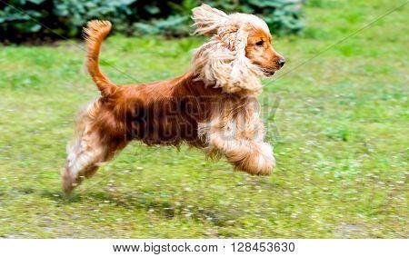Cocker Spaniel run. The Cocker Spaniel run in the park.
