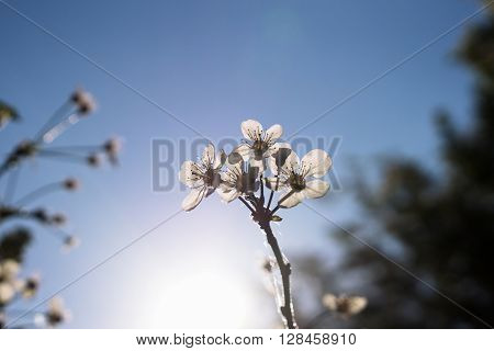 White Cherry Flowers In Rays Of Sunset Background