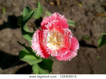 Exotic Pink And White Tulip Flower In The Grass Macro