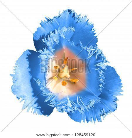 Exotic Blue Tender Tulip Flower Macro Isolated On White