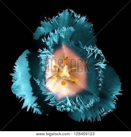 Surreal Dark Chrome Contrast Exotic Turquoise Tulip Flower Macro Isolated On Black
