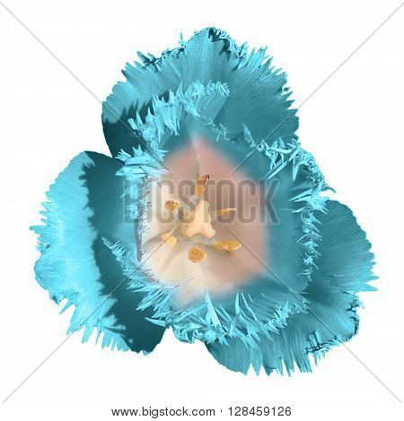 Exotic Turquoise Tender Tulip Flower Macro Isolated On White