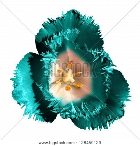 Surreal Dark Chrome Contrast Exotic Turquoise Tulip Flower Macro Isolated On White