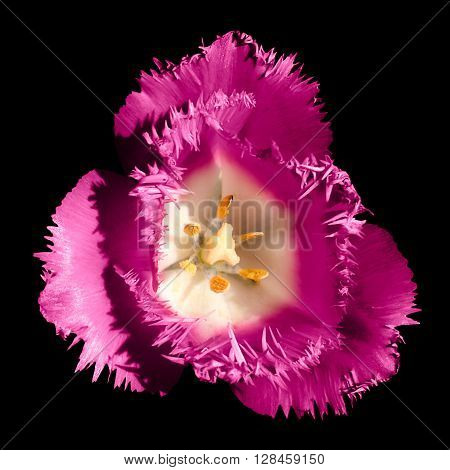 Surreal Dark Chrome Contrast Exotic Pink Tulip Flower Macro Isolated On Black