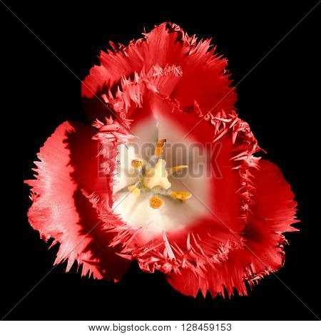 Surreal Dark Chrome Contrast Exotic Red Tulip Flower Macro Isolated On Black