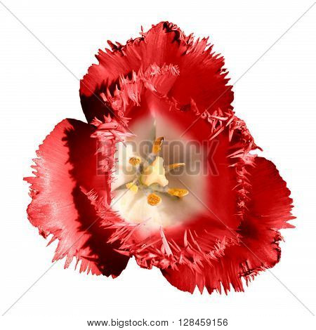 Surreal Dark Chrome Contrast Exotic Red Tulip Flower Macro Isolated On White