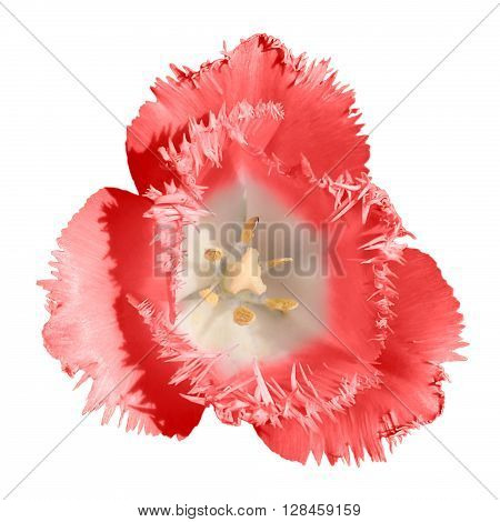 Exotic Red Tender Tulip Flower Macro Isolated On White