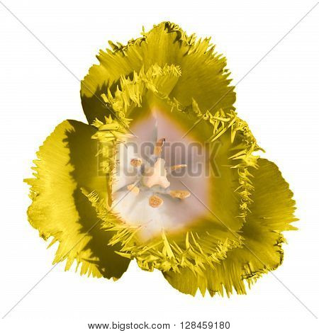 Surreal Dark Chrome Contrast Exotic Yellow Tulip Flower Macro Isolated On White