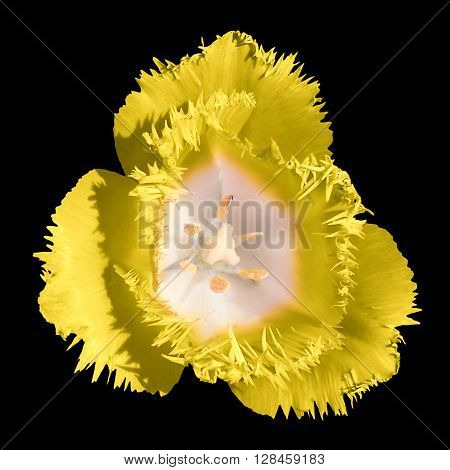 Exotic Yellow Tender Tulip Flower Macro Isolated On Black